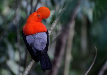 Andean cock-of-the-rock (Rupicola peruvianus)