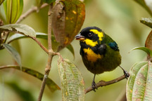 EndemicGold-ringed Tanager (Bangsia aure