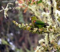 Indigo-winged-Parrot.jpg