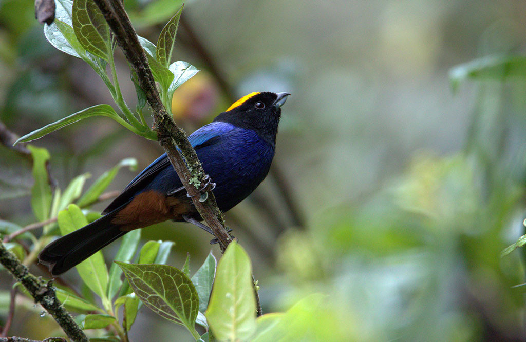 Golden-crowned-Tanager.jpg