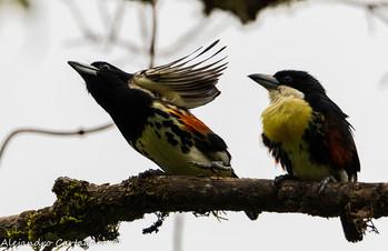 Spot-crowned-Barbet.jpg