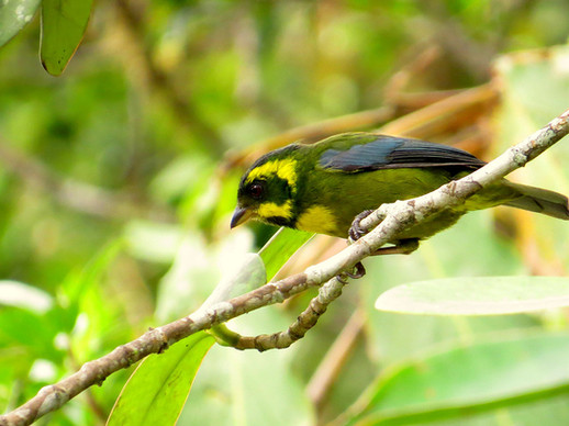 Endemic-Gold-ringed-Tanager-(Bangsia-aur