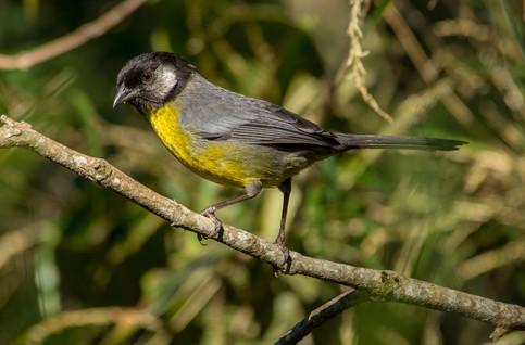 Santa-Marta-Brush-Finch
