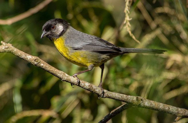 Santa-Marta-Brush-Finch