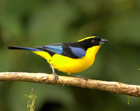 Blue-winged-Mountain-Tanager.jpg