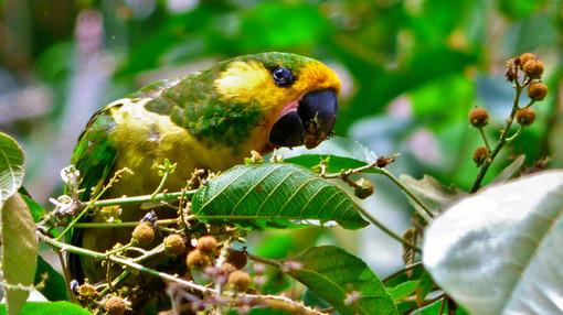Yellow-eared Parrot - Ognorhynchus icterotis (Endemic)