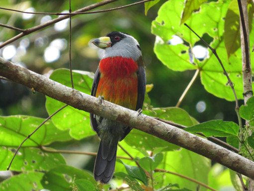 Near Endemic Toucan Barbet (Semnornis ramphastinus)