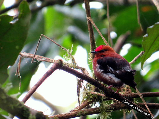 Near-Endemic-Club-winged-Manakin-(Machae