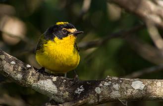 Yellow-crowned-Whitestart