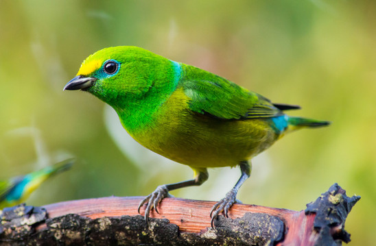 Blue-naped-Chlorophonia