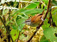 Munchique-Wood-Wren---Henicorhina-negret