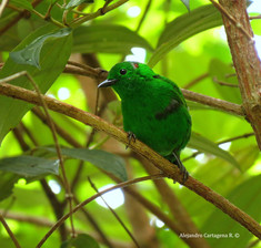 Near Endemic Glistening-green Tanager (Chlorochrysa phoenicotis)
