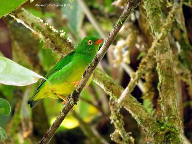 Near-Endemic-Yellow-collared-Chlorophoni
