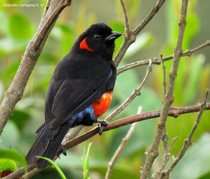 Scarlet-bellied-Mountain-Tanager.jpg