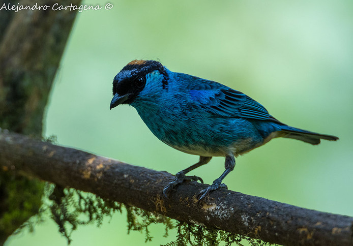 Golden-naped-Tanager-(2).jpg