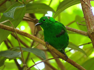 Near-Endemic-Glistening-green-Tanager-(C