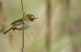 Black-throated-Tody-Flycatcher