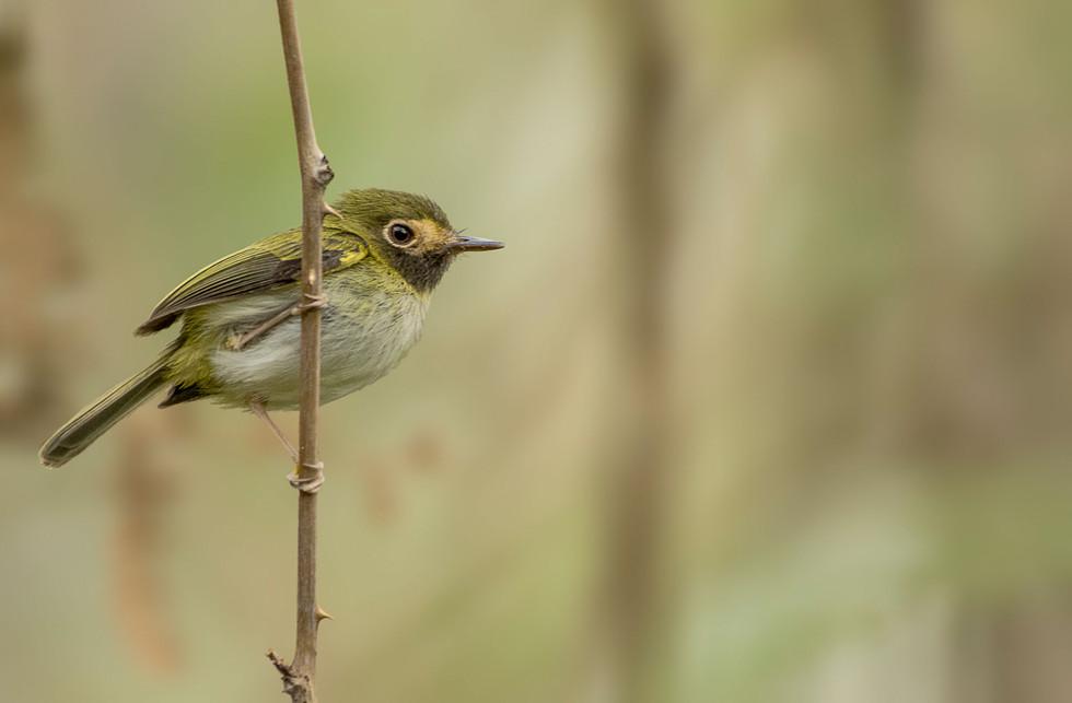 Black-throated-Tody-Flycatcher
