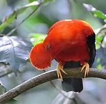 Andean-cock-of-the-rock---Rupicola-peruv