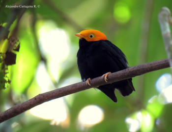 Golden-headed Manakin - Ceratopipra erythrocephala