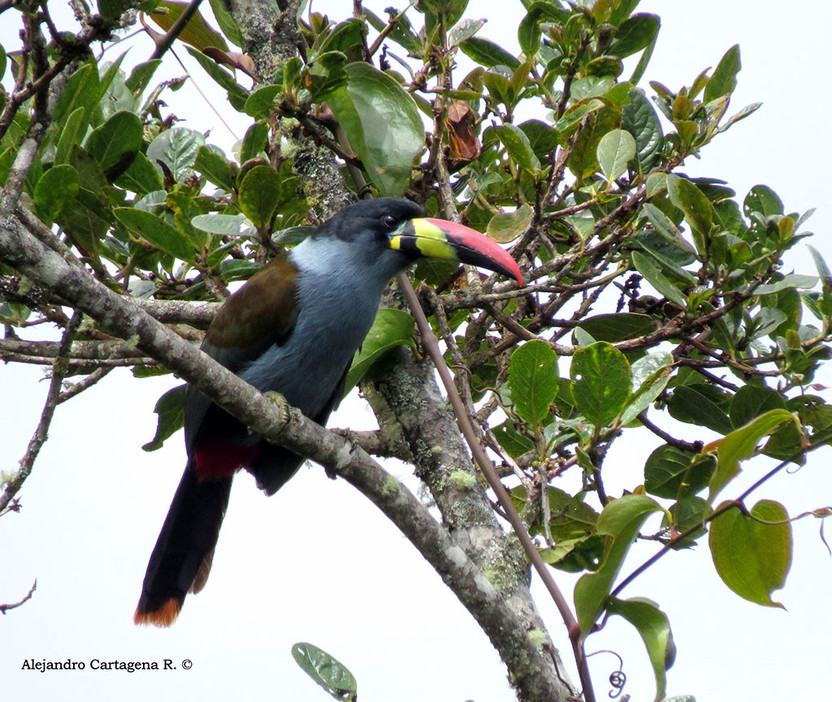 Grey-breasted-Mountain-Toucan.jpg