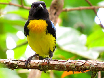 Endemic-Black-and-gold-Tanager-(Bangsia-