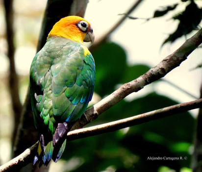 Saffron-headed Parrot (Pyrilia pyrilia)