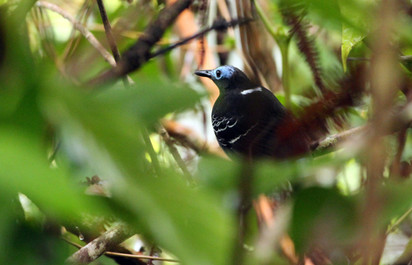 Bare-crowned Antbird - Gymnocichla nudiceps