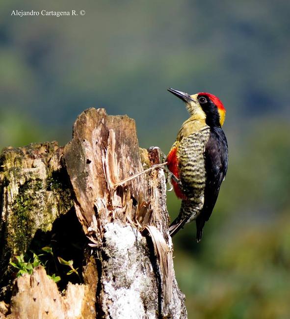 Endemic Beautiful Woodpecker (Melanerpes Pulcher)
