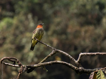 Chestnut-crested Cotinga - Ampelion rufaxilla