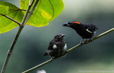 Scarlet-browed-Tanager.jpg