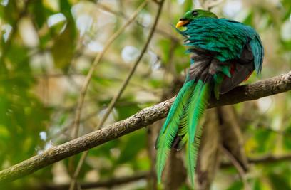 White-tipped-Quetzal