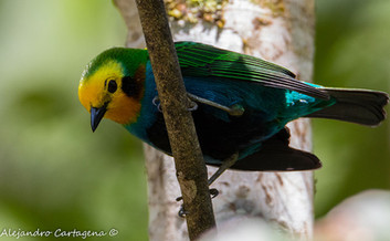 Multicolored-Tanager.jpg