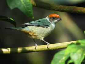Near Endemic Scrub tanager (Tangara vitriolina)