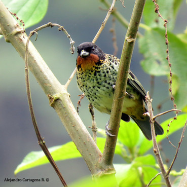 Near Endemic - Rufous-throated Tanager (