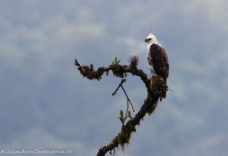 Ornate-Hawk-eagle.jpg