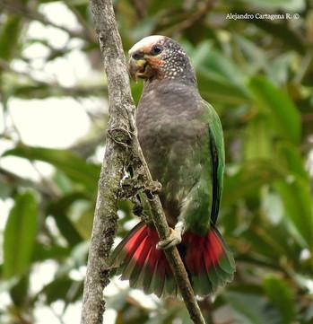 Speckle-faced-Parrot.jpg