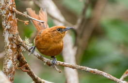 Rusty-headed-Spinetail