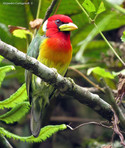 Eubucco-bourcierii---Red-headed-Barbet--