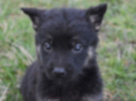 puppy, german, shepherd, dog, traning, socializing, dog, trainer