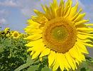 Small_sunflower.jpg