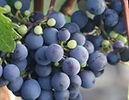 small_grapes.jpg