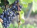 Hubert_Loire_grapes_sm.jpg