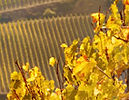 small_vineyard.jpg