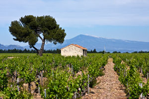 The Active Gourmet in Cote de Rhone vineyards near Mont Ventoux