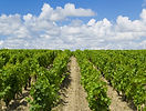 Bordeaux vineyard.jpg