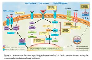 fucoidan signaling pathway