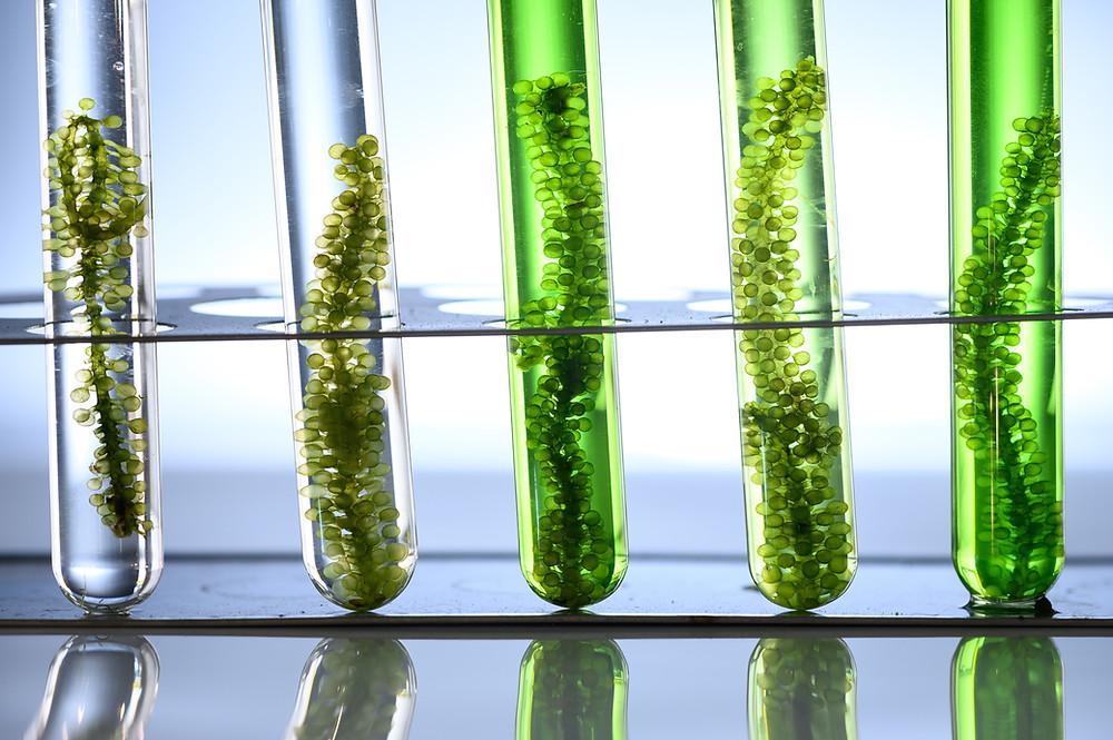 Seaweed in Research (fucoidan)