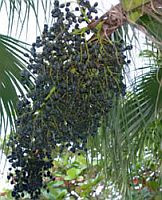 Acai Palm