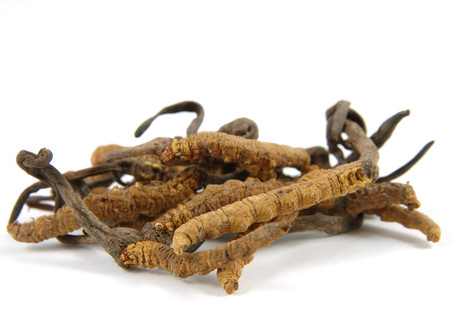 Reproduction Potential of Cordyceps Sinensis